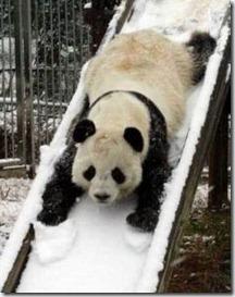 panda-on-slide